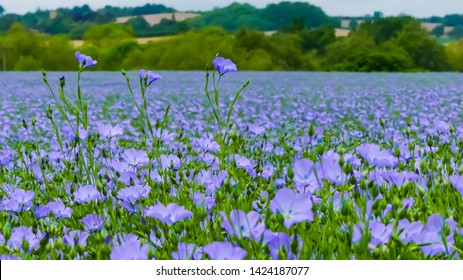 Landscape image showing a crop of bright blue flowering common flax (Linum usitatissimum) commercially grown for linseed. Distant background of rural countryside.