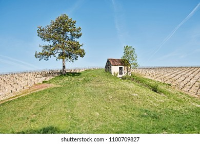 A landscape image showing a small farm shed located between two vineyards in a field near Chablis, France.