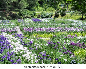 Landscape with irises in bloom