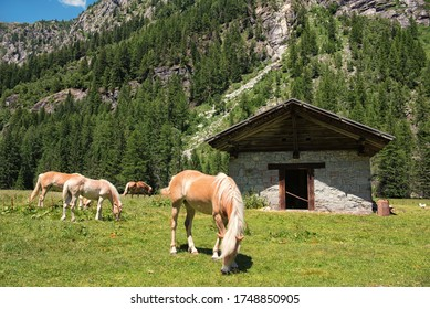 Landscape in Italy Trentino Dolomites Val di Genova Horses