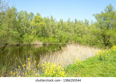 Landscape with a lake in the spring with Poplar trees and Colza flowers, Brassica napus, in the Vlietlanden in Leidschendam in The Netherlands.