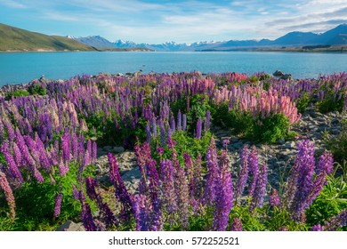 Landscape at Lake Tekapo and Lupin Field in New Zealand.