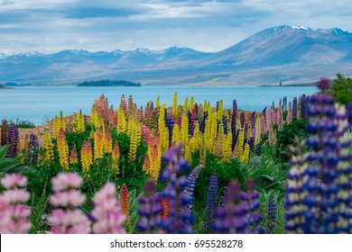 Landscape at Lake Tekapo and Lupin Field in New Zealand. Lupin field at lake Tekapo hit full bloom in December, summer season of New Zealand.