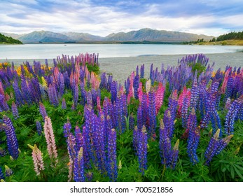 Landscape at Lake Tekapo and Lupine Field in New Zealand. Lupin field at lake Tekapo hit full bloom in December, summer season of New Zealand, providing spectacular scenic landscape.