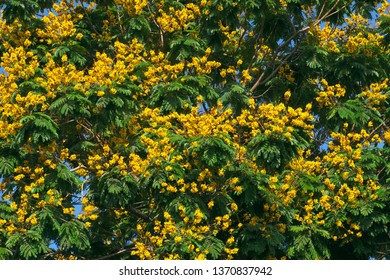Landscape of Large Leopard tree bloom yellow flower among green leaf at Ho Chi Minh city, Vietnam on summer day, this urban tree also is Caesalpinia pulcherrima