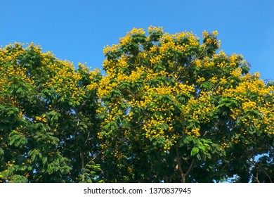 Landscape of Large Leopard tree bloom yellow flower among green leaf on blue sky background at Ho Chi Minh city, Vietnam on summer day, this urban tree also is Caesalpinia pulcherrima