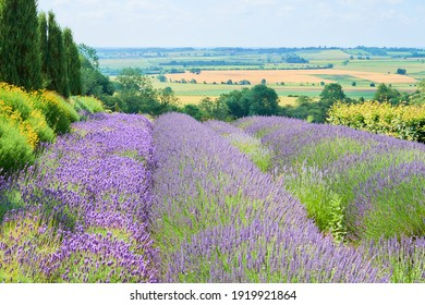 The landscape of lavender field in the sunny day, located in Yorkshire, UK
