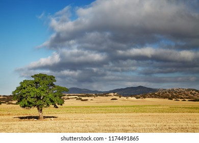 Landscape with a lonely tree in a mowed field, North Cyprus