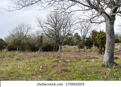 Landscape with lots of blossom purple orchids on the swedish island Oland