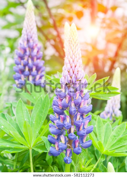 landscape with lupine flowers field. Summer time