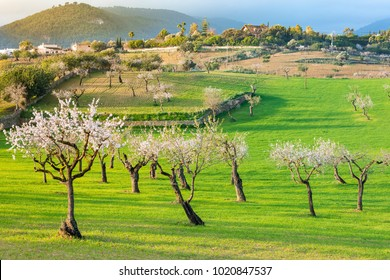 Landscape of the Mallorca countryside with almond trees in blossom