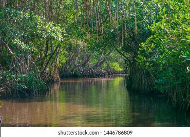 Landscape of Mangrove Swamp, Tecolutla, Veracruz, Mexico. A mangrove is a shrub or small tree that grows in coastal saline or brackish water.
