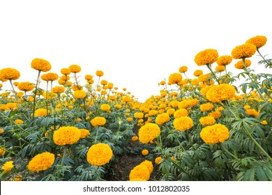 Landscape of Marigold flower in field at northern of Thailand, Yellow Marigold flower plantation isolated on white background