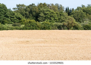 Landscape with a matured corn field by a green forest