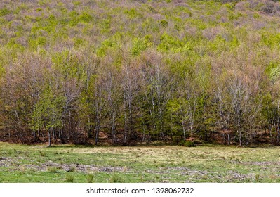 Landscape with meadow and beech trees in spring. Fagus sylvatica.