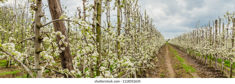 Landscape with modern fruit production aere the Betuwe in the Netherlands