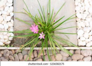 Landscape modern simple stone pathway in garden decoration with white,brown pebbles  and pink rain lily flowers