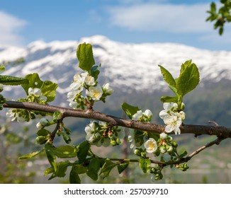 Landscape with mountains in Norwegian fjords in spring. view through the blooming cherry branch