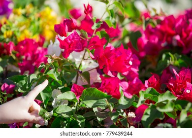 landscape with multicolored flowers Bougainvillea