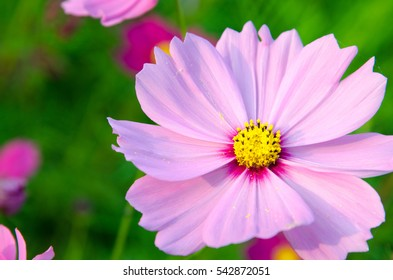 Landscape nature background of beautiful pink and red cosmos flower field with sunshine.