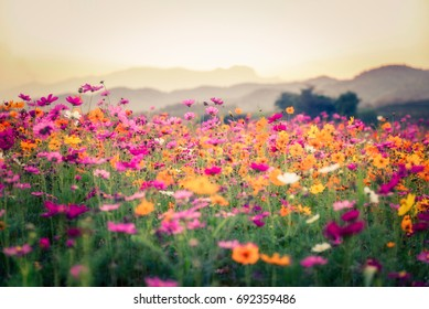 Landscape of nature background and beautiful pink and red cosmos flower field with sunset. vintage color tone