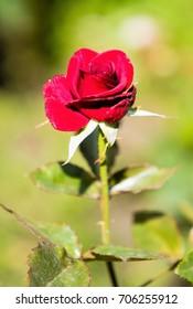 landscape nature plants flowers roses