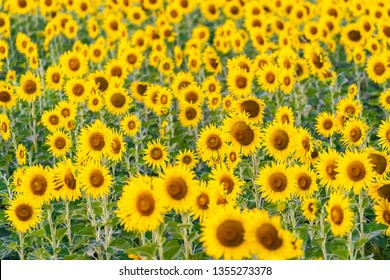 landscape nature with a sunflowers field in Thailand ,  sunflower blooming
