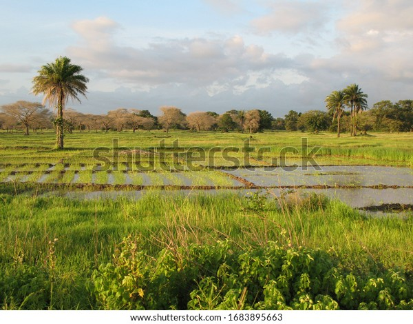 A landscape near of Diouloulou with rice crops in the region of Casamance, Senegal