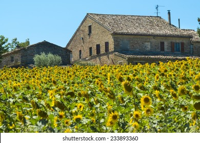 Landscape near Macerata (Marches, Italy) at summer: old house and sunflowers