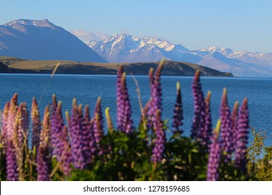 Landscape of New Zealand: Lupinus polyphyllus with Lake Tekapo and Southern Alps on background, South Island, New Zealand