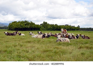 landscape of  normando  dairy cattle resting.