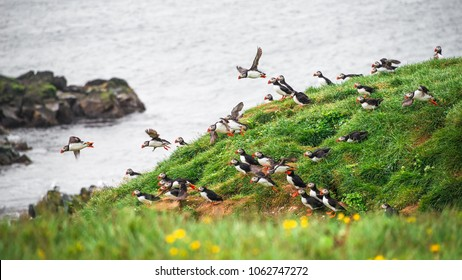 Landscape and North Atlantic puffins at Icelandic seashore, late summer time