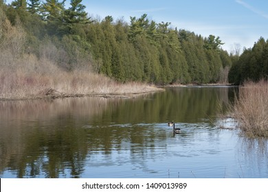 Landscape of a northern woodland river with canada geese in Springtime