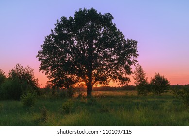 Landscape with oak over spring sunset.