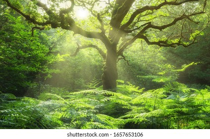 Landscape old oak tree in forest glade with fern and sunbeams