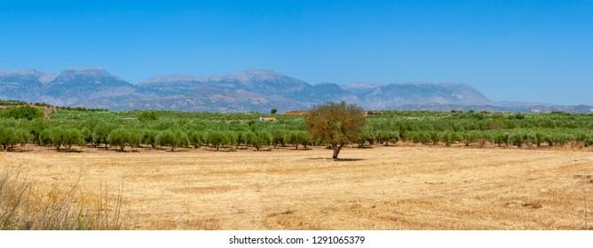 Landscape with olive plantation. Messara plain, Crete, Greece
