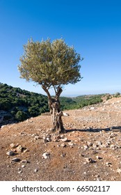 Landscape with olive tree. Israel north.