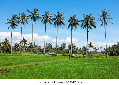 Landscape on Java Indonesia with rice fields in Asia