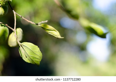 A landscape orientation of green leaves on the twig of a tree, where you can see a little blue sky through the green foliage background