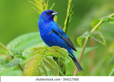 Landscape Orientation of Indigo Bunting Perched In Leaves