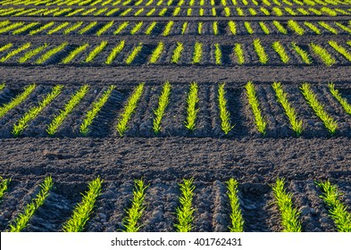 Landscape orientation of rows of young wheat planted at the University of Minnesota