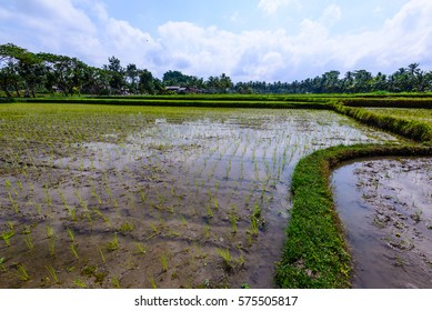Landscape of paddy field in Bali, Indonesia on a sunny, cloudy day.