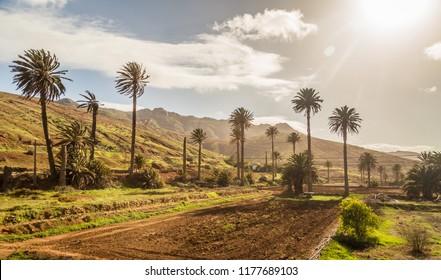 Landscape with palm trees in Vega de Rio Palmas in Fuerteventura, Canary Islands, Spain.