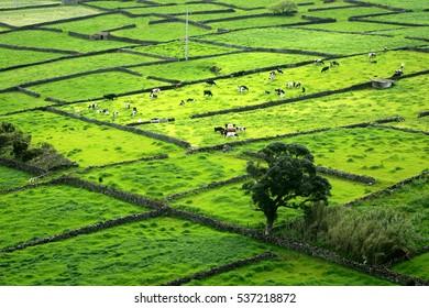 landscape of pastures, grasslands and hedges of the Azores islands