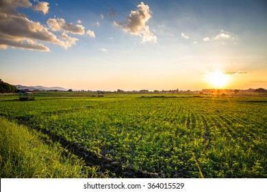 Landscape of peanut farm at sunset in countryside of Thailand