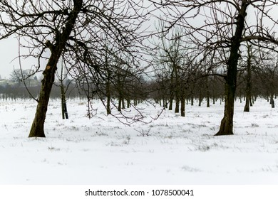 Landscape photograph of cider apple tree orchard in heavy snow, Winscombe,  Somerset, UK