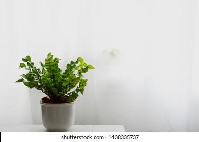 Landscape photograph of crispy wave spleenwort plant against white background