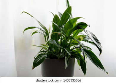 Landscape photograph of peace lily indoor plant against white background