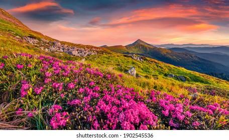 Fotografía paisajística. Flores rododendras rosadas en la cresta de Chornogora. Excitante amanecer de verano en las montañas de los Cárpatos con el pico más alto de Hoverla en el fondo, Ucrania.