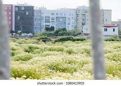 Landscape photography of a flower field with buildings in the background.